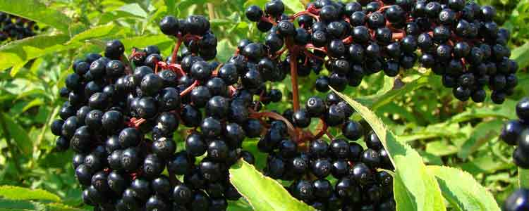 health-benefits-of-elderberry